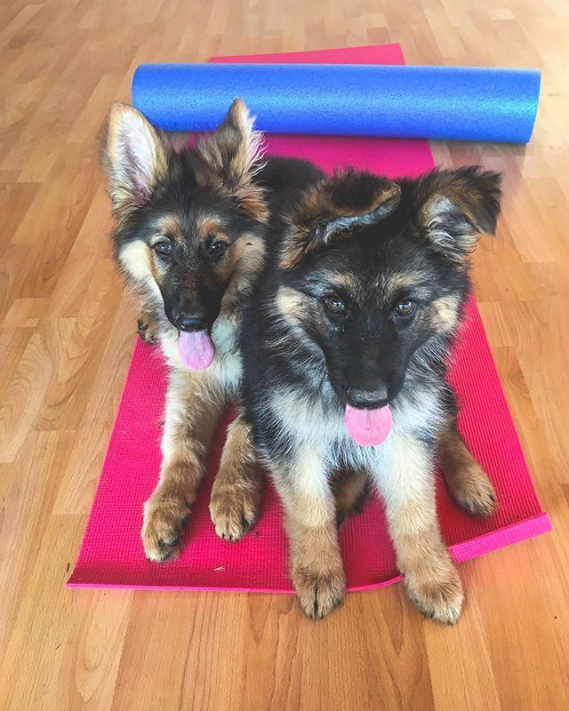 We Like To Workout With Mom Thepups Gsd Germanshepherd