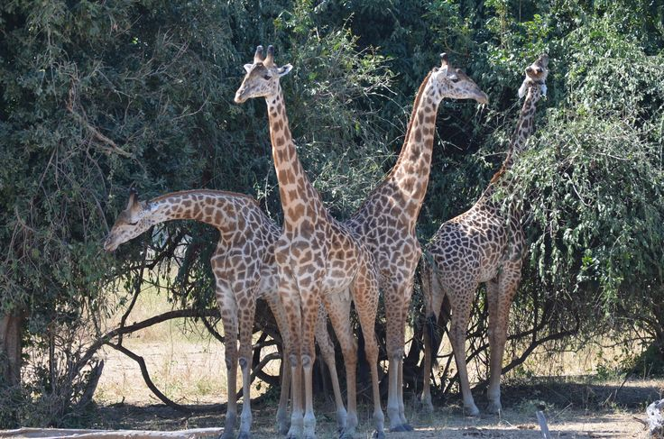 A tower of giraffe. Beautiful sight to see.