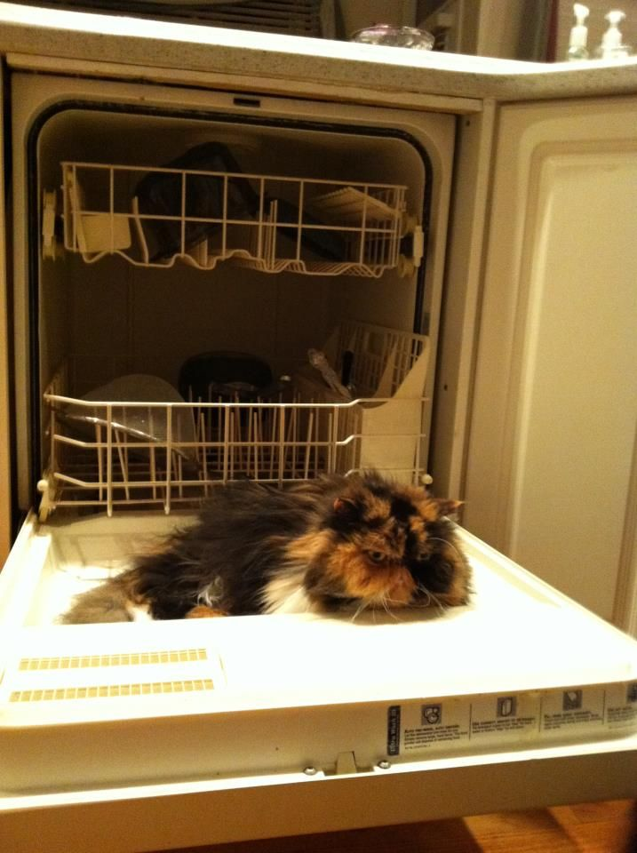 Doing the dishes Persian style | Persian Cats | Pinterest