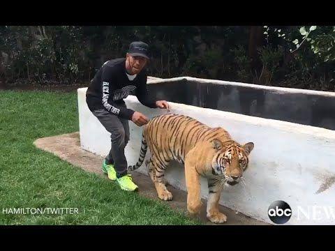 Officially...Archangel641's Blog: Lewis Hamilton scares tiger!