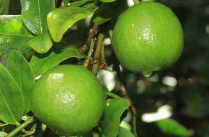 A Maneira mais Fácil de Fazer uma Muda de Pé de Limão