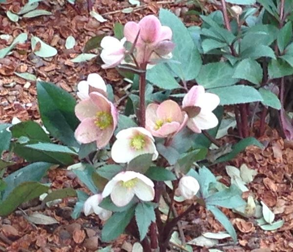 Favorite perennial hellebore lenten rose roundtree for Low maintenance bushes for shade