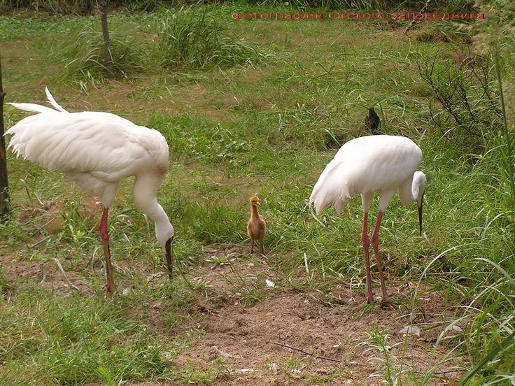 Белый журавль -  Журавли образуют отдельный отряд. Белого журавля называют еще стерхом (а также стрехом и стерехом). Этот журавль ослепительно белого цвета,
