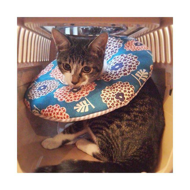 来月の手術にむけて@neconano さんの#アンリッカラー を購入😸 #リバーシブル でうきちにも使えるしね♪ * * うるめちゃん、今日から少しずつ慣れようね! すでに目が怒ってるけど(笑) * * #保護猫 #壁猫 #キジ白 #子猫  #生後5ヶ月 #今日のうるめ #愛猫 #かぎしっぽ #うるめ #ねこすたぐらむ #ぺこねこ部 #にゃんすたぐらむ #みんねこ #にゃんだふるらいふ  #お口模様の会 #neconano #catgoods #ilovecat #kijishiro #pet #cat #catstagram #instacat #kitty
