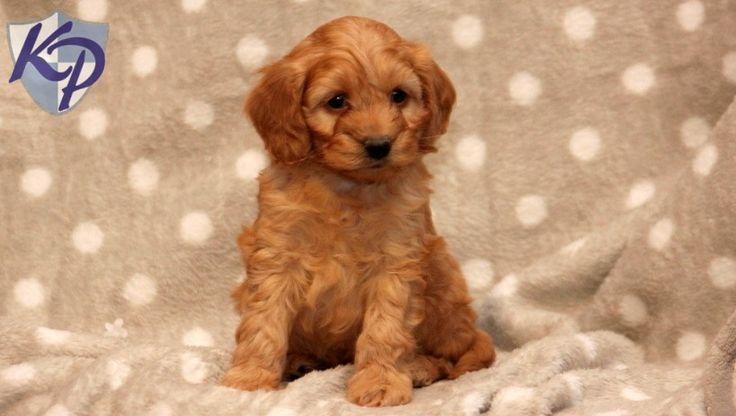 Buckwheat – Goldendoodle – Miniature Puppy www.keystonepuppies.com  #keystonepuppies #minigoldendoodle