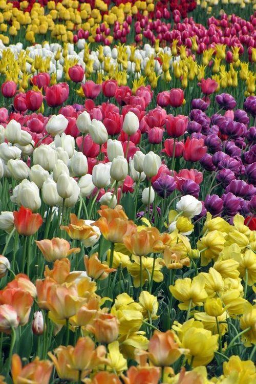 I really want a garden like this :) I love love love tulips!