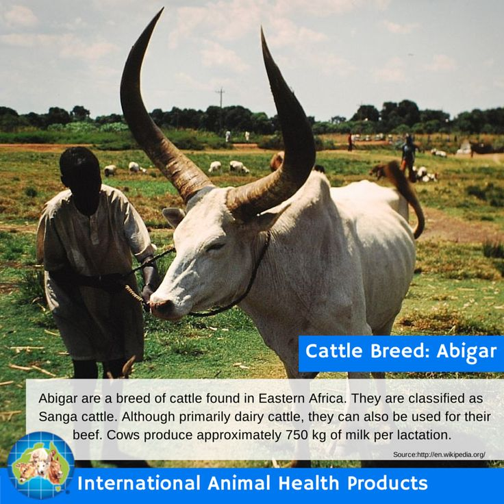 Abigar are a breed of cattle found in Eastern Africa. They are classified as Sanga cattle. Although primarily dairy cattle, they can also be used for their          beef. Cows produce approximately 750 kg of milk per lactation.