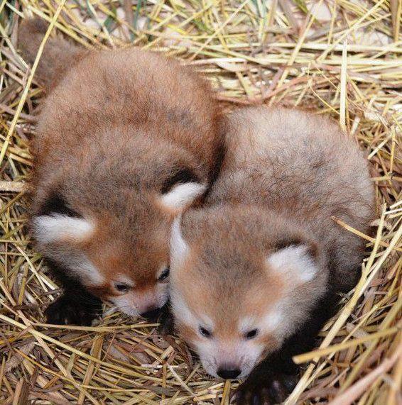 more baby red pandas!