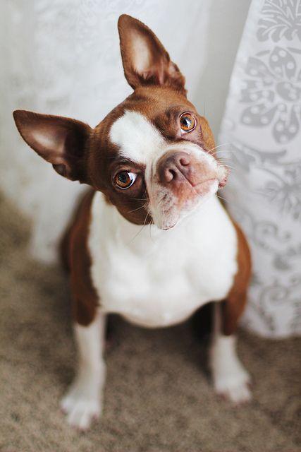 Brown Boston Terrier Cutie
