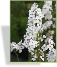 Halbschatten, Schatten, Größe50-70 cm , PflanzzeitMär-Okt Blütezeit  5 - 7 Nachtviole