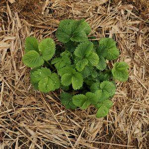 Fraisiers : 3 raisons pour les planter en automne