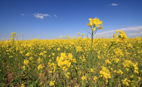 The Inconvenient Truth About Canola Oil - not the healthy oil you think it is at all! | Small Footprint Family