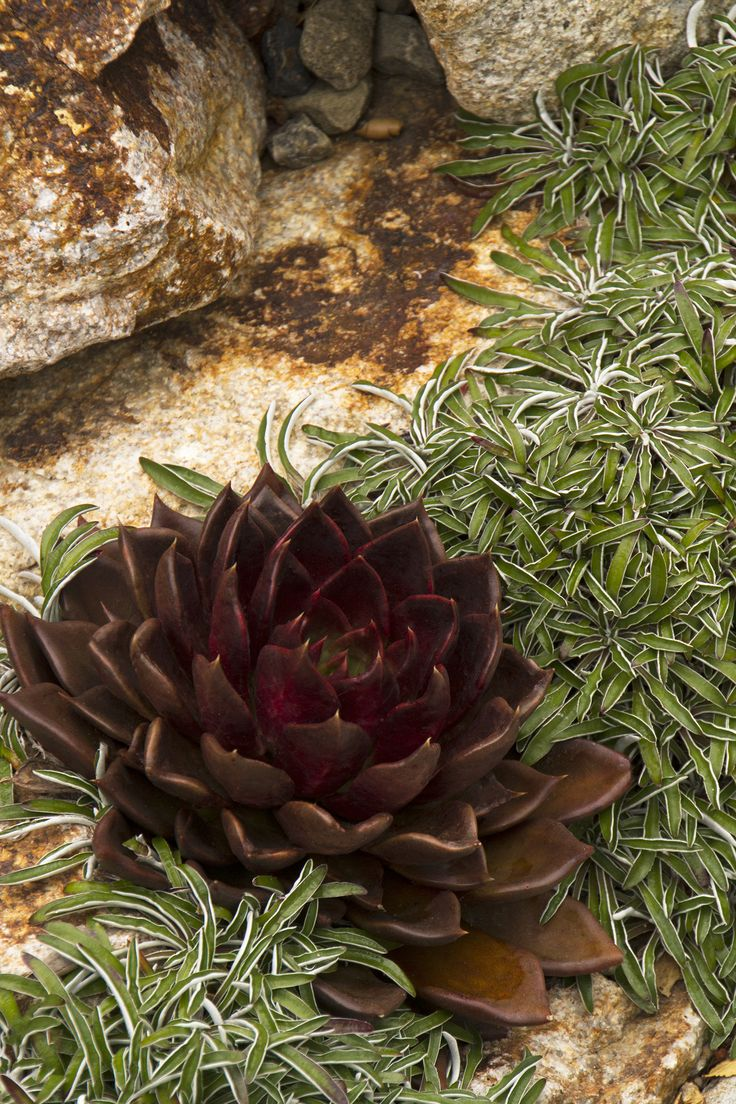 Black Prince Echeveria forms dark, nearly black rosettes. Salmon-red flowers in autumn and winter attract hummingbirds. Dramatic foliage adds wonderful contrast to succulent plantings and rock gardens. Well-suited to containers, both indoors and out. Evergreen. Zone 9-11