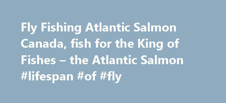 """Fly Fishing Atlantic Salmon Canada, fish for the King of Fishes – the Atlantic Salmon #lifespan #of #fly http://illinois.nef2.com/fly-fishing-atlantic-salmon-canada-fish-for-the-king-of-fishes-the-atlantic-salmon-lifespan-of-fly/  # The wild Atlantic Salmon (salmo salar) meaning, """"The Leaper"""", was named and described scientifically In 1758 by Swedish Taxonomist and Botanist Corolus Linnaeus. The Atlantic Salmon are born in the freshwater rivers and undergo many changes during their lifespan…"""
