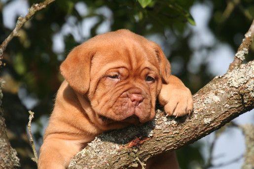 Karmy dla psów ras olbrzymich