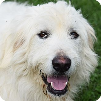 8/8/15 Huntley, IL - Great Pyrenees/Irish Wolfhound Mix. Meet Teddy, a dog for adoption. http://www.adoptapet.com/pet/13573742-huntley-illinois-great-pyrenees-mix