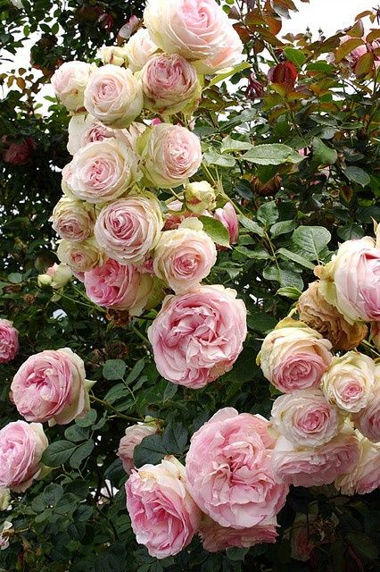 Cabbage roses   Lovely gardens and flowers