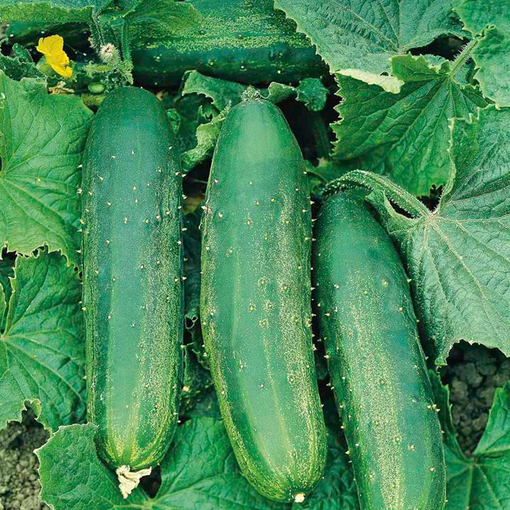Cucumber Seeds - F1 Bush Champion - All Vegetable Seeds - Vegetable Seeds - Gardening - Suttons Seeds and Plants