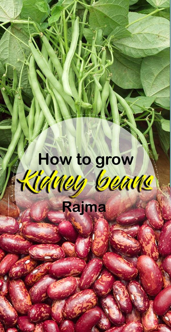 How To Grow Kidney Beans Rajma Growing Kidney Beans In Containers Kidney Beans Bean Garden Growing Beans