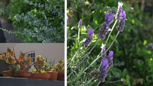 Greenery. Kalk Bay. #kalkbay #lavender #capetown #southafrica