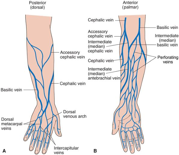 Arm Veins For Venipuncture | ... veins dorsal aspect of the hand b superficial veins forearm