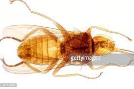 Bildresultat för tsetse fly sleeping sickness