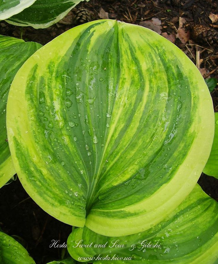 Hosta 'Sweet and Sour'