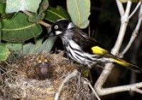 New Holland Honeyeater - This guy said hi to me at Ryan's old house.