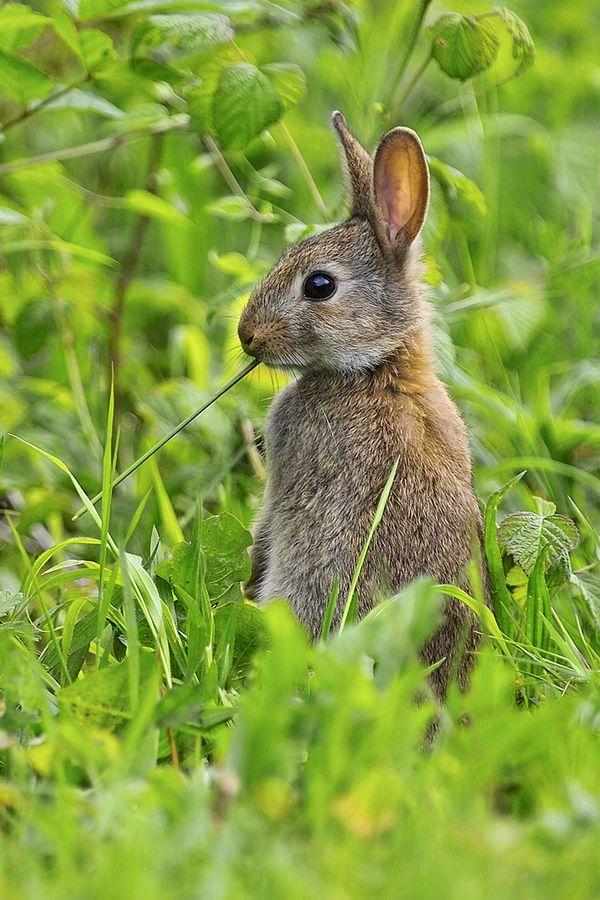 Wild rabbit - Lapin de garenne by Alain Balthazard, via 500px