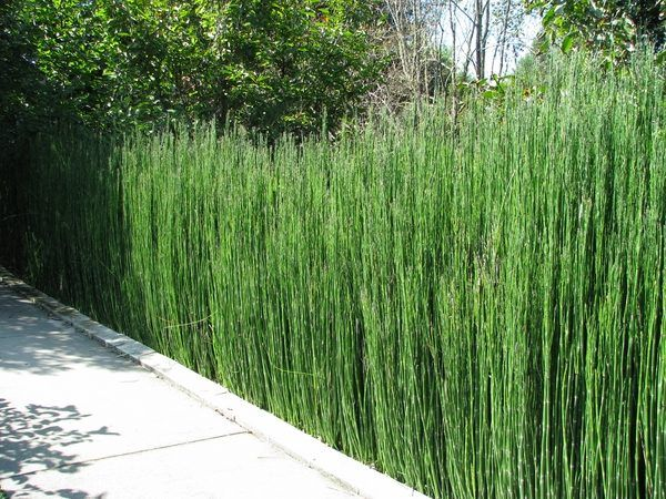 garden decorating ideas horsetail reed privacy screen ideas