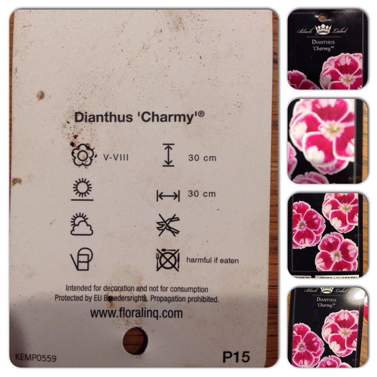 Diantus Charmy Bodembedekker