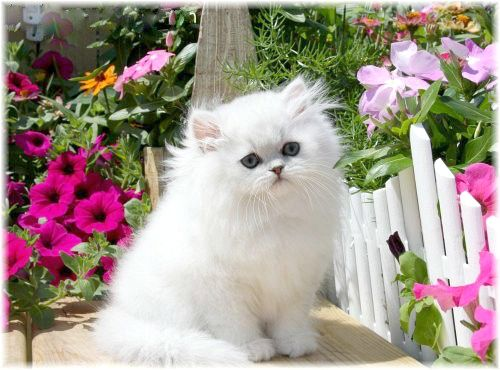 Silver Chinchilla Teacup Persian Kitten......if only we weren't allergic    *sigh*