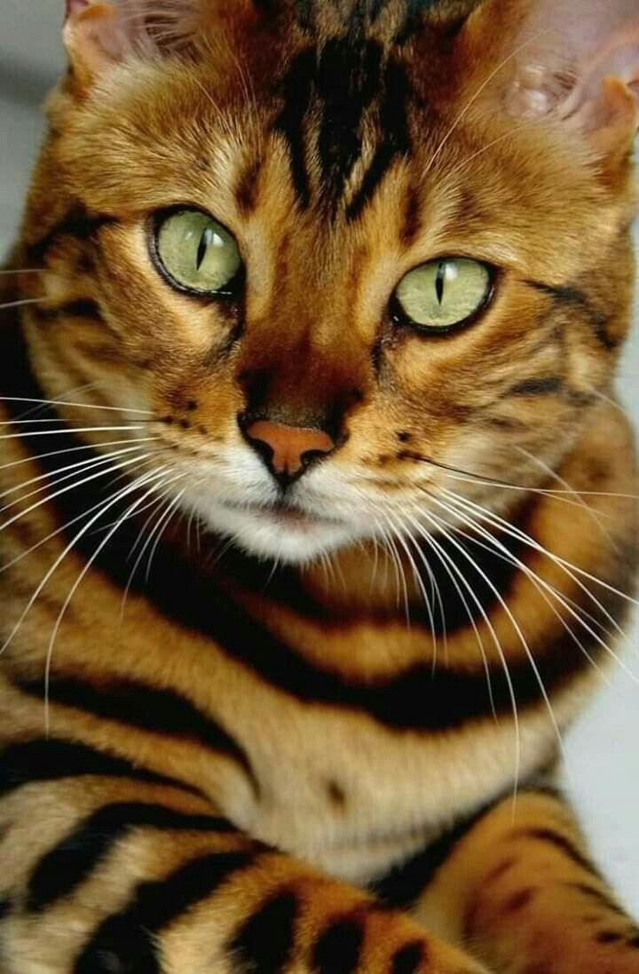 Pin By Linda Falotico On Cats Eyes Toyger Cat Cute Cats Cats