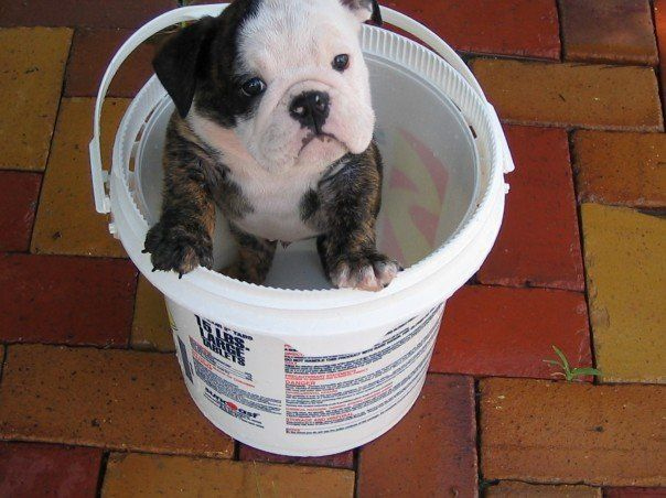English bulldog puppy in a bucket (photographer: Woolly Volition)  Prints and other merchandise available at: http://woollyvolition.deviantart.com/prints/?utm_source=deviantart&utm_medium=userpage&utm_campaign=printstab / http://www.zazzle.com/woollyvolition / http://www.cafepress.com/WoollyVolition