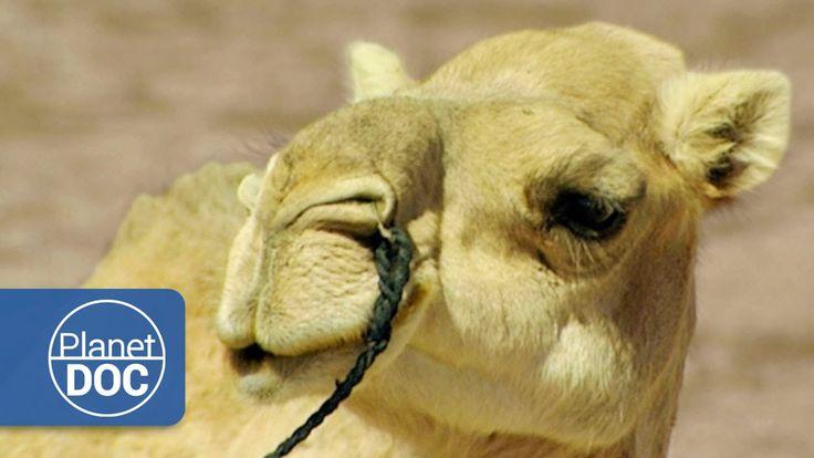 Camellos y Dromedarios | Nómadas del Sahara
