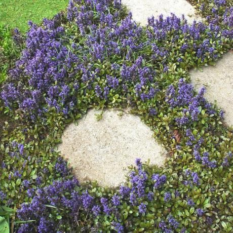 Bugleweed. Perennial. Prefers light shade. You can walk on it. Good underplanting for shrubs.