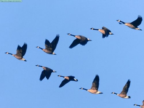Each year geese are one of the many birds that migrate south in V-shaped flocks. These flocks imply physical but also imagined boundaries in the sky that create a V-shape space.
