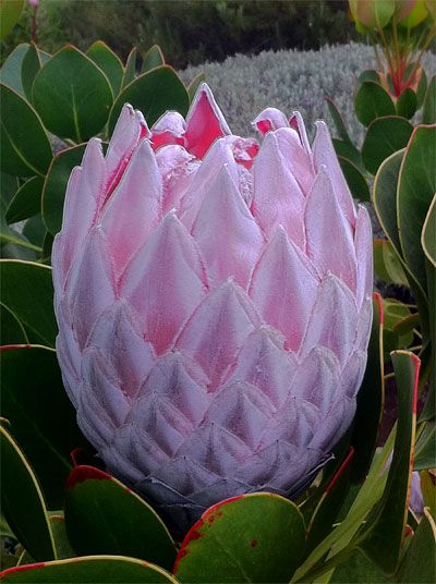 GIANT PROTEA, CAPE PROVINCE  https://www.pinterest.com/mausby/south-africa-home-including-neighbours/