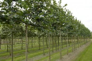 Tilia europaea  Die Linde 'Euchlora', auch Krim-Linde, ist genau wie die klassische 'Pallida' ein beliebter Spalierbaum. Das große Vorteil dieser Linde ist, dass sie kaum für Läuse empfindlich ist, sie wird also nicht tropfen.