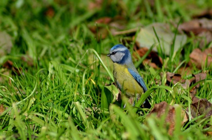 Blue Tit in Retiro Park, Madrid