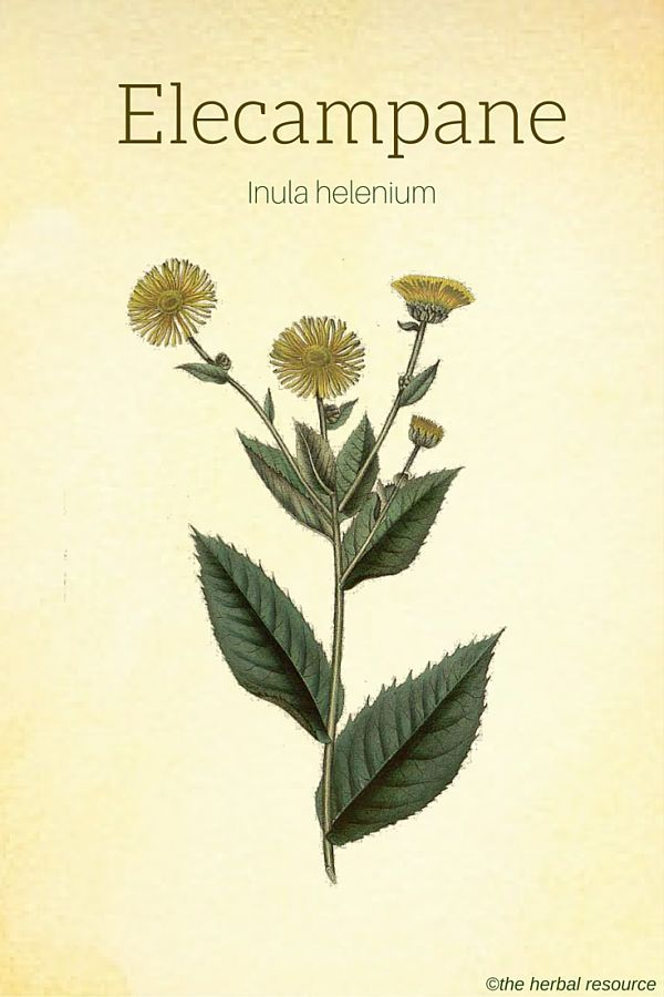 Elecampane (Inula helenium) horse heal, scab wort, wild sunflower central North America, colds, antibacterial, anti-tuberculin , expectorant, secretions, bronchitis,and more