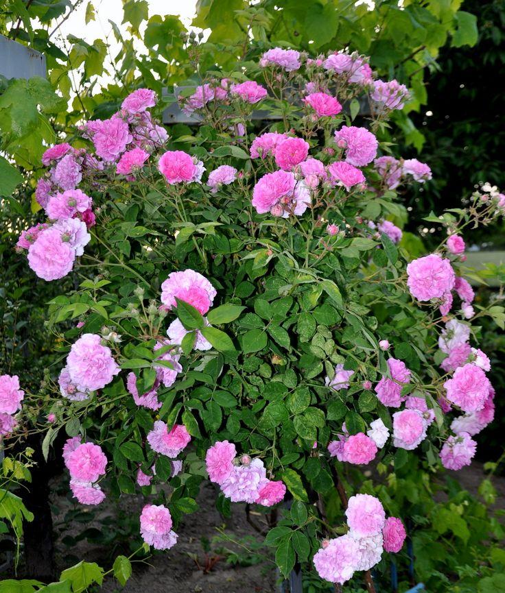 Pink rose  Rs
