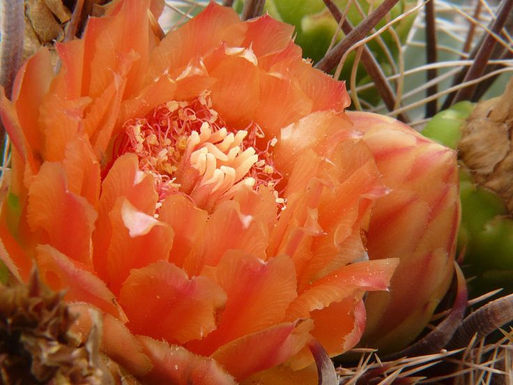Cacti are known to be drought resistant plants, meaning they can survive with little amount of water. One species of cactus that bears a colorful and lovely flower is the Fishhook Barrel cactus. The fruits are green when unripe, yellow after the flower dries up, and persist atop the cactus long after the flower is gone.