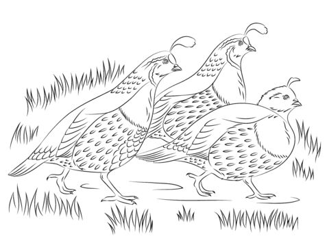 California Quails Coloring Page Kids Coloring And Work