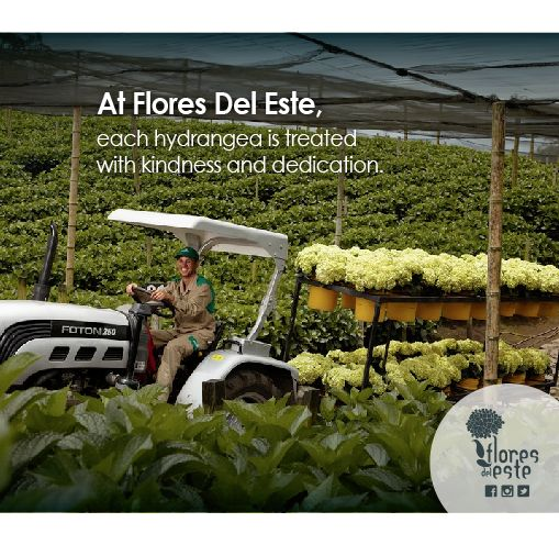 At Flores Del Este, each hydrangea is treated with kindness and dedication. #Medellin #Hydrangeas #Farm #Colombia