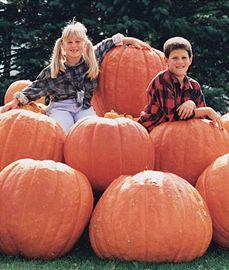 Pumpkin, Atlantic Giant,