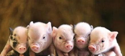 One pig,Two pigs,Three pigs,Four pigs,Five pigs !  oh,,, there are five small pigs