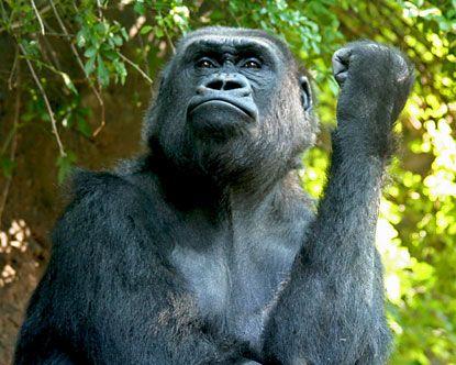 Go ape at the Bronx Zoo, Bronx, NY #ridecolorfully
