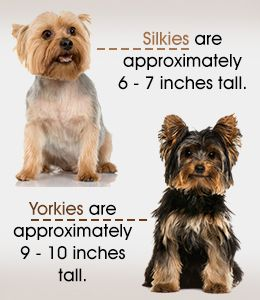 Comparison between silky terriers and yorkshire terriers