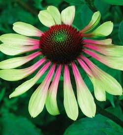 Echinacea 'Green Envy' The broad petals emerge from bud a light, lime